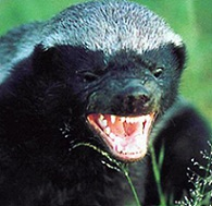 Honey Badger's Avatar